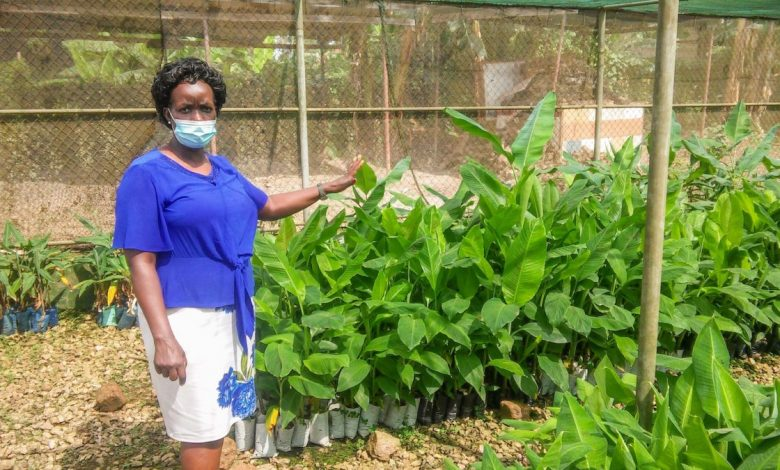 Plant raisers in Uganda and Tanzania have created dry spell lenient and sickness safe banana crossovers that are proposed to help the commercialization of East Africa's banana area.