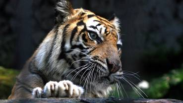 A Sumatran Tiger (Panthera Tigris Sumatrae) in its enclosure at the Surabaya Zoo in Indonesia. (Archive image)
